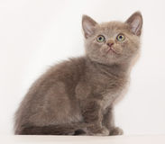 Little Kitten Scottish Straight sitting and looking up Stock Image
