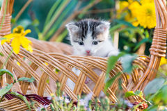 Little kitten sitting in a basket on  floral lawn Royalty Free Stock Photography