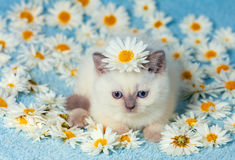 Little kitten sitting on chamomile flowers Stock Photos