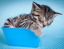 Little  kitten sleeping in a blue box Royalty Free Stock Photo
