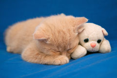 Little kitten sleeping with toy dod royalty free stock images