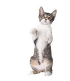 Little Kitten Standing Straight up on Hind Legs Stock Images