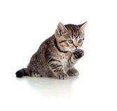 Little kitten striped british washing fur Royalty Free Stock Photo