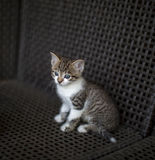 Little kitten striped white coloring with blue eyes sitting on a wicker chair Stock Image