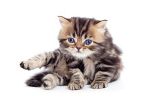 Little kitten tabby british isolated looking down Stock Images