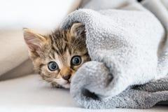 Little kitten under a blanket. Kitten Stock Photography