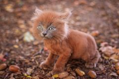 Little kitten on a walk on the path. The kitten is walking. Pet. Fluffy smoky cat with a haircut. Groommer haircut cat. Little kitten on a walk on the path. The royalty free stock photos