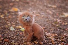 Little kitten on a walk on the path. The kitten is walking. Pet. Fluffy smoky cat with a haircut. Groommer haircut cat. Little kitten on a walk on the path. The stock photo