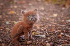 Little kitten on a walk on the path. The kitten is walking. Pet. Fluffy smoky cat with a haircut. Groommer haircut cat. Little kitten on a walk on the path. The stock images