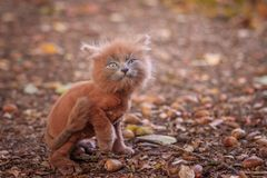 Little kitten on a walk on the path. The kitten is walking. Pet. Fluffy smoky cat with a haircut. Groommer haircut cat. Little kitten on a walk on the path. The royalty free stock image