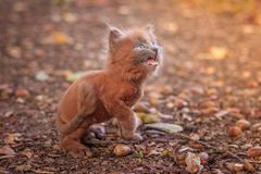 Little kitten on a walk on the path. The kitten is walking. Pet. Fluffy smoky cat with a haircut. Groommer haircut cat. Little kitten on a walk on the path. The stock photography