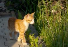 Little kitten walk Stock Images