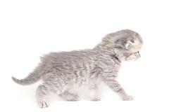Little kitten walking Royalty Free Stock Photography