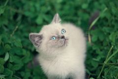 Kitten walking on clover lawn stock images