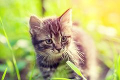 Little kitten walking on the grass Royalty Free Stock Photos
