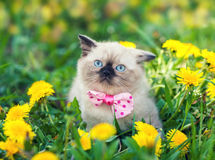 Little kitten wearing bow tie Royalty Free Stock Photo