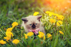 Little kitten wearing bow tie Stock Images