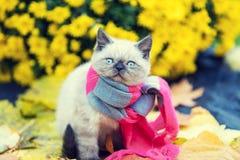 Little kitten wearing pink gray knitting scarf stock photo