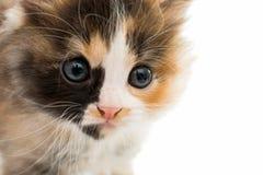 Little kitten Royalty Free Stock Photography