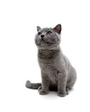 Little kitten on white background looking up Royalty Free Stock Image