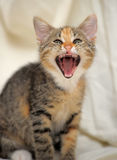 Little kitten yawning Stock Photos