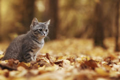 Little kitten in yellow leaves Royalty Free Stock Image