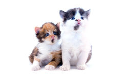Little kittens Royalty Free Stock Photo