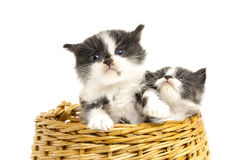 Little kittens. Stock Photos
