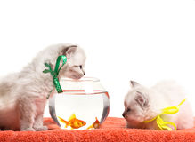 Little kittens and aquarium with goldfish Royalty Free Stock Photo