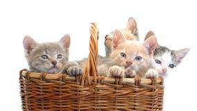 Little kittens in a basket stock video