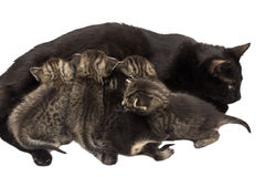 Little kittens with cat isolated on white Stock Photo