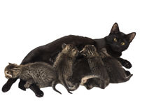 Little kittens with cat isolated on white Stock Images