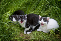 Little kittens in the grass. Meowing for their mom Stock Photos