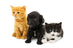 Little kittens and spaniel puppy Royalty Free Stock Image