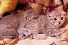 Little kitties of Scottish Fold Stock Photography