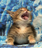 Little kitty angry and hissing royalty free stock photo