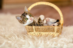 Little kitty is in the basket, and looks up. Age 1 month Stock Image