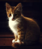 Little kitty is so cute. Red cat Stock Images