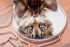 A little kitty looks in the mirror, the top view. Displays kitte royalty free stock image