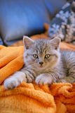 Little kitty lying on the couch. Little grey cat lying on an orange blanket on the couch Royalty Free Stock Photography