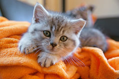 Little kitty lying on the couch. Little grey cat lying on an orange blanket on the couch Royalty Free Stock Photos