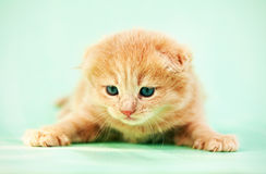 little kitty Royalty Free Stock Photo