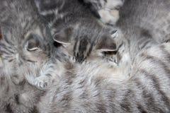 Little kitty of Scottish Fold Stock Image