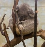 Little koala bear sleeping on a branch stock photos