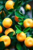 Little kumquat oranges. Royalty Free Stock Images