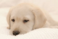 Little labrador Royalty Free Stock Photography