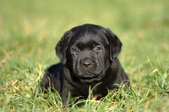 Little labrador Stock Images