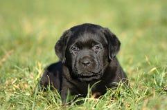 Little labrador Stock Images