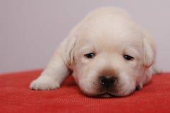 Little labrador. Little yellow labrador retriever puppy Royalty Free Stock Photo