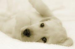 Little labrador. Retriever portrait in b&w Stock Photo